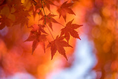 Autumnal background, defocused red marple leaves Stock Photography