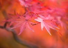 Autumnal background, defocused red marple leaves Royalty Free Stock Image
