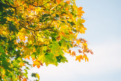 Autumnal background of maple tree branch Royalty Free Stock Images
