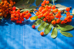 Autumnal background rowan fruits blue wooden board Stock Image