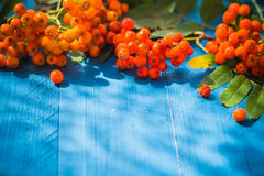 Autumnal background rowan fruits blue wooden board Royalty Free Stock Photo