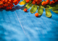 Autumnal background rowan fruits blue wooden board Stock Photography