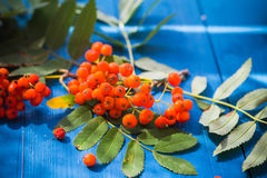 Autumnal background rowan fruits blue wooden board Royalty Free Stock Images