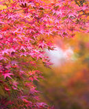 Autumnal background, slightly defocused red marple leaves Royalty Free Stock Photo