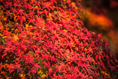 Autumnal background, slightly defocused red marple leaves Stock Image
