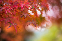 Autumnal background, slightly defocused red marple leaves Royalty Free Stock Photography