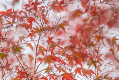 Autumnal background, slightly defocused red marple leaves royalty free stock photos