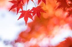 Autumnal background, slightly defocused red marple leaves Stock Image