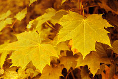 Autumnal background with yellow maple leaves. Royalty Free Stock Photo