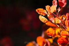 Autumnal backgrounds wit red foliage Stock Photos