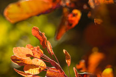 Autumnal backgrounds wit red foliage royalty free stock photos