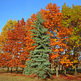 Autumnal beautiful trees. Autumnal versicolored beautiful trees and blue sky Royalty Free Stock Photography