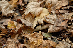 Autumnal bed of leaves dropped Royalty Free Stock Photos