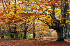Autumnal beech forest Royalty Free Stock Images