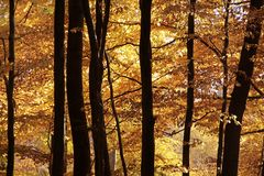 Autumnal beech forest Stock Photo