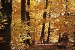 Autumnal beech forest Stock Photos