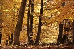 Autumnal beech forest Royalty Free Stock Photo
