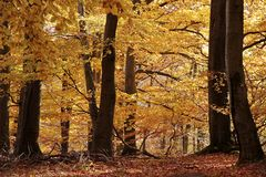 Autumnal beech forest Stock Image