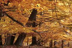 Autumnal beech forest Royalty Free Stock Photos