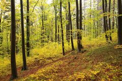 Beech trees in autumn forest after rain