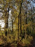 Autumnal beech forest at sunset in backlighting Royalty Free Stock Images