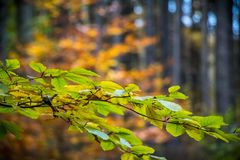 Autumnal beech leaves with amazing colorful blurred background Royalty Free Stock Image