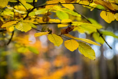 Autumnal beech leaves with amazing colorful blurred background Royalty Free Stock Photos