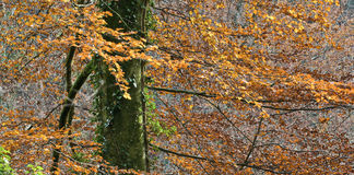 Autumnal beech tree Stock Image