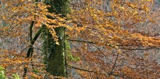 Autumnal beech tree Stock Image