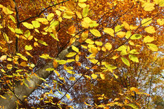 Autumnal beech tree, view from below. Bright golden autumnal beech tree, view from bottom up Royalty Free Stock Photo