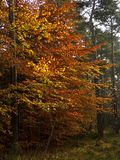 Autumnal beech tree wood Stock Images