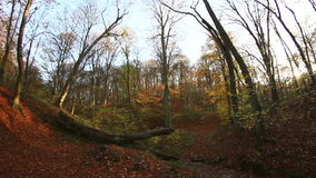 Autumnal beech trees. / Steady Footage shot with dolly stock video