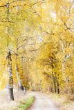 Autumnal birch alley. With a path Stock Photography