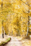 Autumnal birch alley. With a path Stock Images