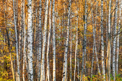 Autumnal birch forest background Royalty Free Stock Photos
