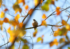 Autumnal bird royalty free stock images