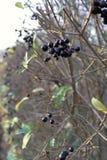 Autumnal blackberries Stock Image