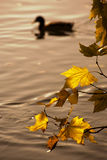 Autumnal branch over water Royalty Free Stock Photo