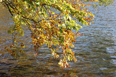Autumnal branches of beech at lakeside Stock Photos