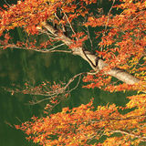 Autumnal branches of a beech tree, against tranquil green water Royalty Free Stock Photography