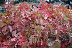 Autumnal red leafage of Virginia creeper. Autumnal bright red leafage of Virginia creeper Stock Photos