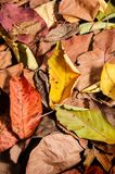 Autumnal brighty leaves. Pattern background. Vertical composition Stock Photos
