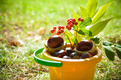 Bucket of chestnuts and rowan Royalty Free Stock Photography