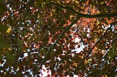Autumnal Canopy Stock Photos