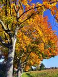 Tree avenue with beautiful autumn leaves in full sun. Autumnal canopy in yellow to orange against a blue sky, autumn leaves on a tree lined avenue in bright royalty free stock photos