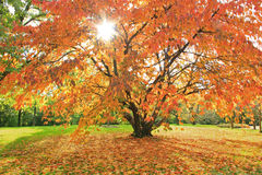 Autumnal cherry tree in the park, with bright su Stock Photos