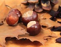 Autumnal chestnut Stock Images