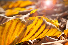 Autumnal chestnut leaves Royalty Free Stock Photography