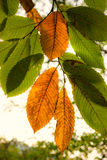 Autumnal Chestnut's Leaf Royalty Free Stock Images