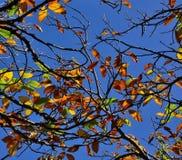 Autumnal chestnut tree Royalty Free Stock Image